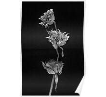 Echinacea Mono Poster