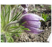 Spring Pasque Flower Poster