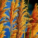 Sea Oats by Harlan Mayor