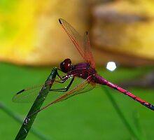 SA Dragonfly by IngridSonja