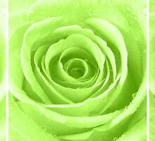 Lime Green Rose with Water Droplets Triptych by Natalie Kinnear