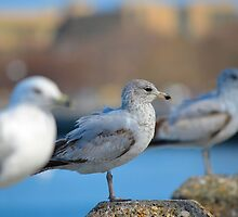 seagulls lined up by Irina93