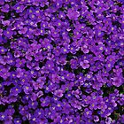 A sea of purple by Ulla Vaereth