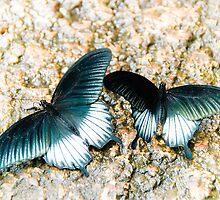 Low's Swallowtails by Matthias Keysermann