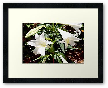 Easter lily blooms by ♥⊱ B. Randi Bailey