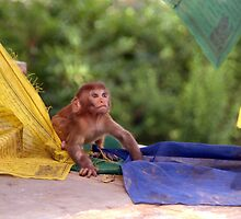 Baby Monkey Playing on Prayer Flags Swayambhu Steps by SerenaB