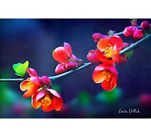 Painted Quince Blossoms Photographic Print