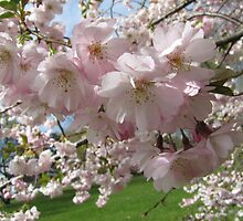 Cherry Blossom by orko