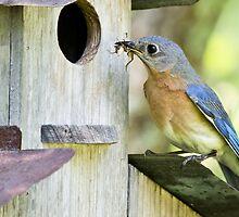 Bluebird female feeding her babies by Brenda  Meeks