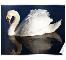 Swan with reflection. Poster