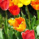 Tulips  by Alberto  DeJesus