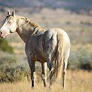 Cremello Stallion by Kelly Jay