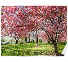 Spring blossoms in New York City Poster
