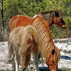 Assateague Pony by Monte Morton
