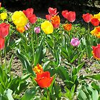 Tulips by Alberto  DeJesus