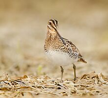 Wilson's Snipe Venturing Out... by Daniel Cadieux