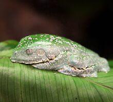 Amazon Leaf Frog by Brad Granger
