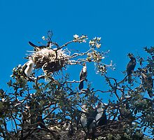 shags nesting by Anne Scantlebury