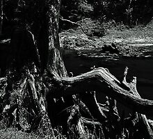 Bent Cypress Tree by joevoz