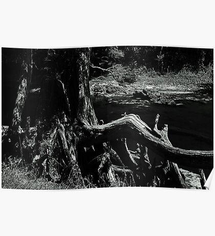 Bent Cypress Tree Poster