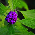 Beauty Berry by joevoz