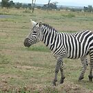 Single Zebra by mdench