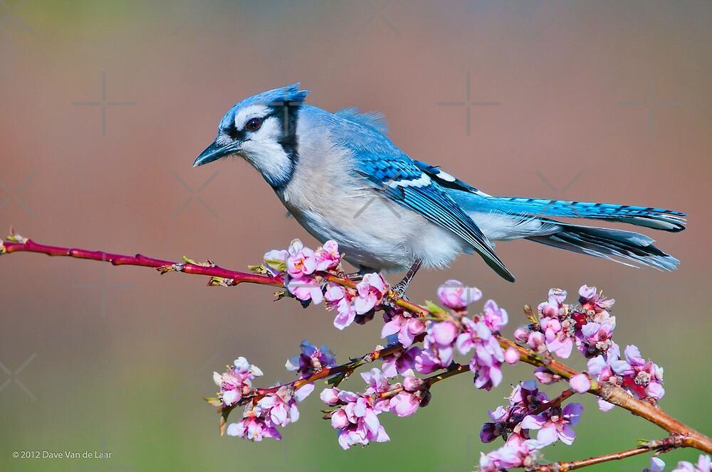 Blue Jay and Peach Blossoms by (Tallow) Dave  Van de Laar
