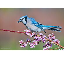 Blue Jay and Peach Blossoms Photographic Print