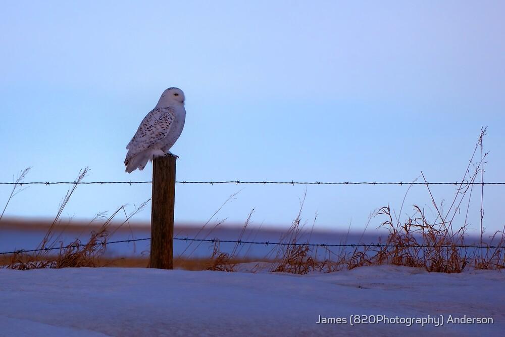 Snowy Owl by JamesA1