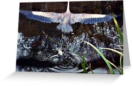 Great Blue Heron Taking Off - Beauty In Motion by Jane Neill-Hancock