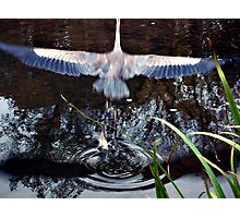Great Blue Heron Taking Off - Beauty In Motion Photographic Print