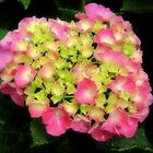 I Heart Hydrangeas by Sharon Woerner