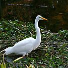 White Egret, A Rare Find At A New Jersey Park by Jane Neill-Hancock