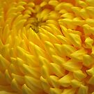 Yellow Crysanthemum by Lozzar Flowers & Art