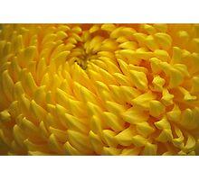 Yellow Crysanthemum Photographic Print