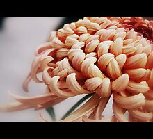 Film the Chrysanthemum by Lozzar Flowers & Art