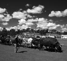 Bullock Team by Noel Elliot