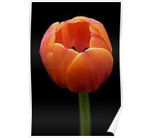 Sunburnt Tulip Poster