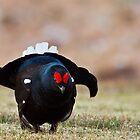 The Black Grouse Lek by sarniebill1