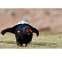 The Black Grouse Lek Photographic Print