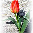Easter Tulip by andreajansen