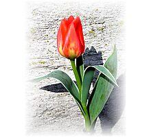 Easter Tulip Photographic Print