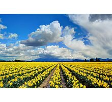 Blanket of Sunshine - Daffodil Fields 1 Photographic Print