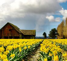 The Old Barn - Daffodil Fields 2 by Tracy Friesen