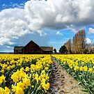 Daffodil Fields 5 by Tracy Friesen