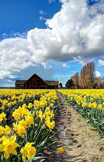 Daffodil Fields 5 by Tracy Friesen