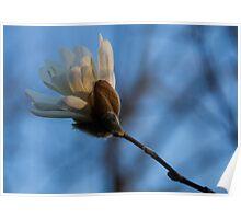 Blue Sky Magnolia Blossom - Dreaming of Spring Poster