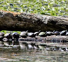 Turtles In A Row by KRincker