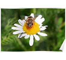 Hoverfly on Daisy - I see you!!! Poster