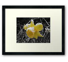 Daffodils in snow Framed Print